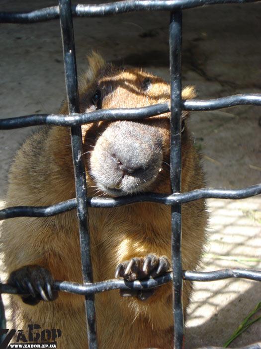 Сурок байбак (зоопарк ДЖД, Запорожье)